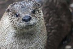 Leuke otter in het natuurlijke plaatsen op een rots met water op achtergrond Stock Afbeeldingen