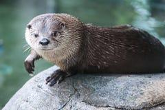Leuke otter in het natuurlijke plaatsen op een rots met water op achtergrond Stock Afbeelding