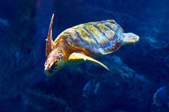 Leuke overzeese schildpad in aquarium Stock Foto's