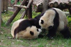 Leuke panda's Royalty-vrije Stock Afbeelding