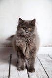 Leuke Perzische Cat Looking Royalty-vrije Stock Fotografie