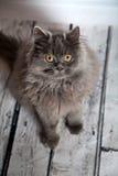 Leuke Perzische kat Stock Fotografie