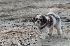 Leuke pluizige hond die bij het strand lopen Royalty-vrije Stock Fotografie