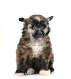 Leuke pluizige puppyzitting die op wit wordt geïsoleerd¯ Royalty-vrije Stock Fotografie