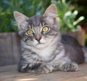 Leuke, Pluizige Tabby Kitten stock afbeeldingen