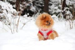 Leuke pomeranian hond bij de winter boshond bij sneeuw bos Slimme hond Stock Afbeelding