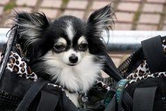Leuke Pomeranian-hond in grote beurs Stock Fotografie