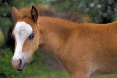 Leuke Pony Foal royalty-vrije stock foto's
