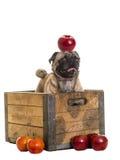 Leuke Pug hond in appelkrat stock foto