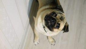 Leuke pug kijkt geinteresseerd in de camera stock video