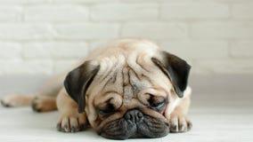 Leuke pug slaap op de vloer stock video