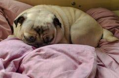 Leuke pug van het hondras het zoeken van een comfortabele plaats voor slaap stock fotografie