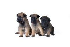 Leuke puppy Stock Afbeeldingen