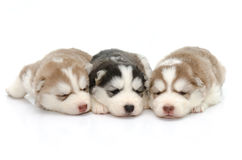 Leuke puppy Siberische schor slaap op witte achtergrond Stock Afbeeldingen