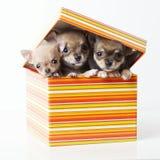 Leuke puppychihuahua in doos Stock Afbeelding