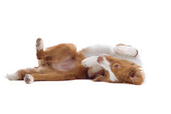 Leuke puppyhond die op rug ligt royalty-vrije stock afbeelding