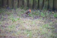 Leuke Robin die in de tuin rusten Stock Foto