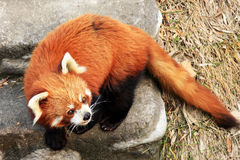 Leuke Rode Panda royalty-vrije stock afbeelding