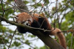 Leuke rode pandaslaap op de takken van een boom Stock Fotografie