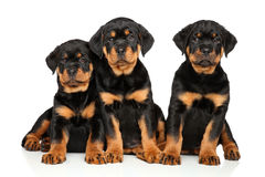 Leuke Rottweiler-puppy op wit Stock Foto's