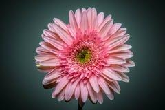 Leuke roze bloem Stock Afbeeldingen