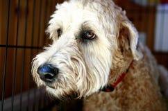Leuke Ruwharige Hond Royalty-vrije Stock Afbeeldingen