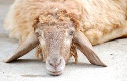 Leuke schapen Royalty-vrije Stock Afbeeldingen