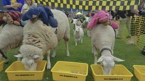 Leuke schapen die in Waikato, Nieuw Zeeland rennen stock videobeelden