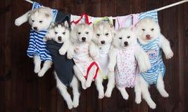 Leuke Schor puppy, op een achtergrond Stock Fotografie