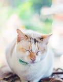 Leuke Siamese kat Stock Afbeelding