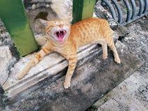 Leuke Slaperige Oranje Binnenlandse Tabby Cat Yawning Showing Teeth en Tong stock fotografie