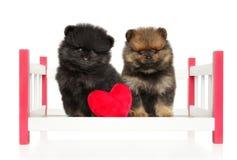 Leuke Spitz puppy op babywieg stock foto's