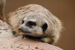 Leuke Suricate of Meerkat Royalty-vrije Stock Afbeeldingen