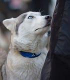 Leuke Syberian Husky Dog Looking bij Zijn Eigenaar Hongerig Husky Dog P stock afbeeldingen