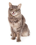 Leuke Tabby Cat Sitting And Sticking Out-Tong Royalty-vrije Stock Foto's