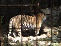 Leuke Tijger in dierentuin stock afbeelding
