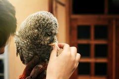 Leuke uil met grijze en bruine veren die bij hand en het eten zitten Royalty-vrije Stock Afbeeldingen