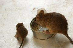 Leuke Uiterst kleine Babymuis die Rijst in Staal Tin CanSuper Cute Baby en Mammamuizen eten die Rijst eten door Tin Can royalty-vrije stock foto's