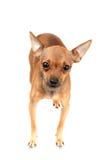Leuke van een hond Stock Foto's