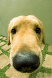 Leuke van een hond Stock Afbeeldingen