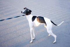 Leuke van een hond cutie van de puppyhond royalty-vrije stock afbeeldingen