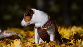 Leuke van een hond in jasje stock footage