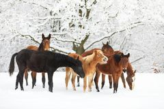 Leuke veulennen op de sneeuwweide Stock Afbeelding