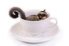 Leuke vliegende eekhoorn in witte ceramische kop Stock Foto's