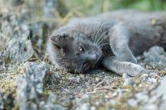 Leuke volwassen grijze kat met mooie groene ogen die op een rots liggen Stock Foto's