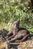 Leuke volwassen grijze kat met mooie groene ogen die op een rots liggen Royalty-vrije Stock Afbeeldingen