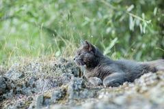 Leuke volwassen grijze kat met mooie groene ogen die op een rots liggen Royalty-vrije Stock Fotografie