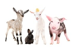 Leuke weinig landbouwbedrijfdieren royalty-vrije stock foto