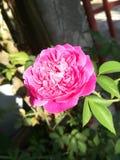 Leuke weinig nam roze bloem toe stock fotografie