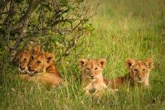 Leuke welpenleeuwen die in het gras, Masai Mara rusten, Stock Fotografie